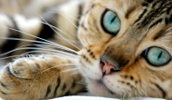 Is Your Cat Left-Pawed or Right? This Is What That Says About Their Personality