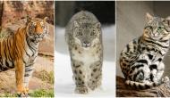 Las FOTOS de tu gato SALVAN a los grandes felinos