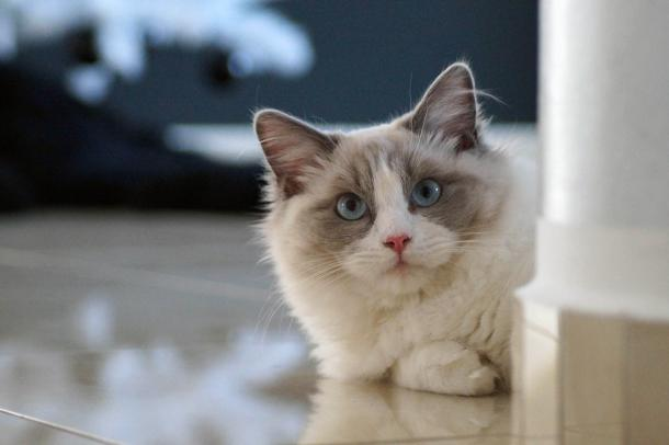 Ragdoll Cats: The Most Easygoing Breed in the Feline World?