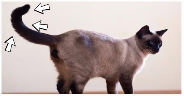 Your Cat's Tail Has 6 Poses. This Is What They Mean.