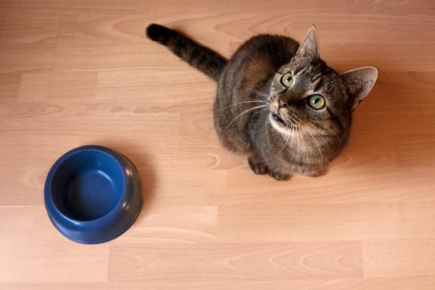 Why Your Cat Is ALWAYS Hungry