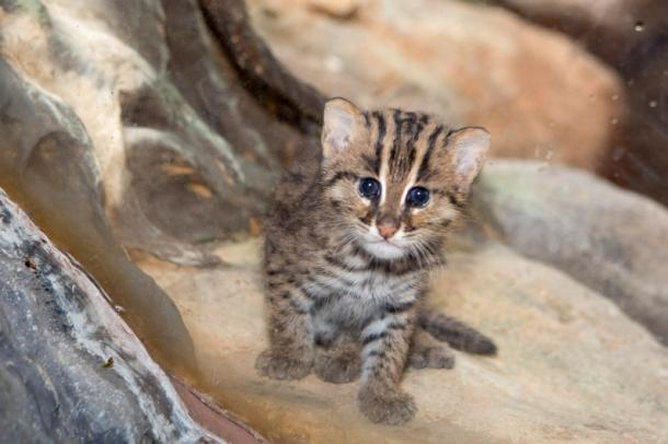 Little fishing cat