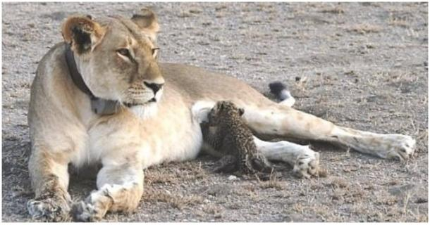 The Extraordinary Maternal Instinct of This Lioness Can't Be Explained by Science