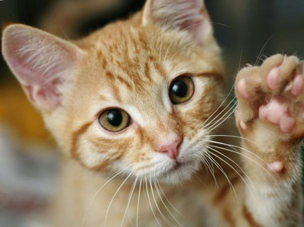 How To Know If A Cat Is LEFT Or RIGHT Handed?