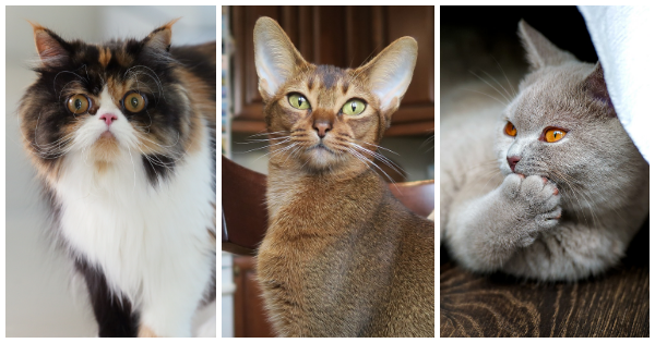 Discover Your Ideal Cat Breed