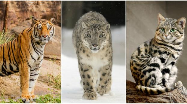 Wild Cats That Are In Serious Danger of Going Extinct