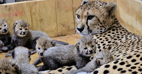 This Big Cat Just Gave Birth to a Record-Breaking Litter, and the Pictures Will Melt Your Heart