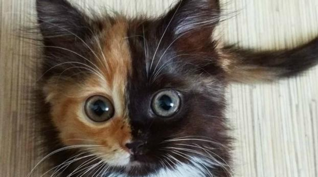 Meet Yana, the Adorable Kitten with Two Faces!