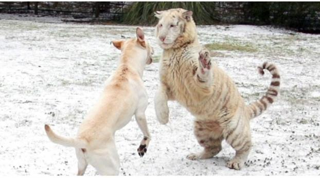 Unbelievable: Watch This Video of a Dog and Tiger Playing Together in the Snow