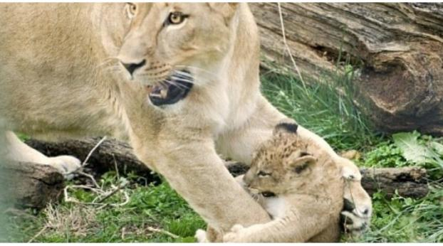 What This Zoo Did with Nine Baby Lions Will Horrify You