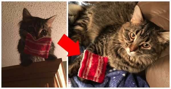 "This Maine Coon Cat Won't Go Anywhere Without Her ""Security Pillow"" – Even Now That She's So Big!"
